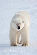 01874-12006 Polar Bear (Ursus maritimus) in winter, Churchill Wildlife Management Area, Churchill, MB Canada