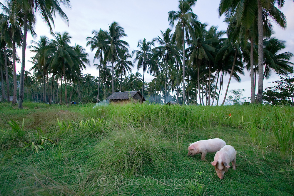 Two piglets grazing on a small farm with a house in the background, Palawan, Philippines