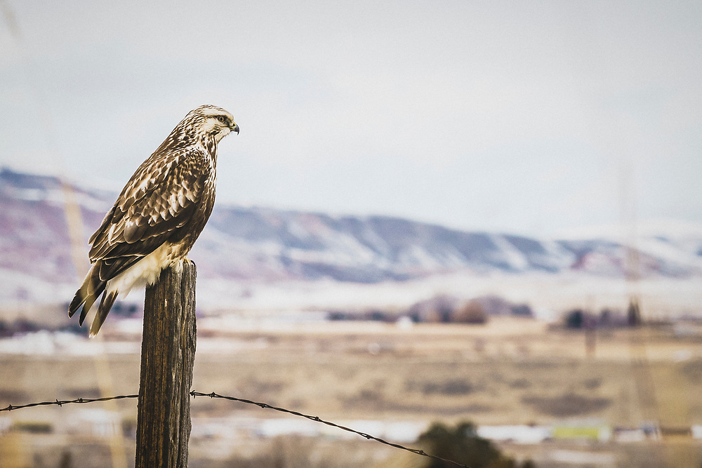 Prairie falcon on a post, Cody, Wyoming.