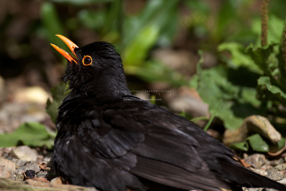 The Common Blackbird (Turdus merula, Eurasian Blackbird, Merle) was introduced to New Zealand and has become common throughout. Adult male blackbirds, like this one at Wellington's Karori Sanctuary (Zealandia), are black with bright orange beaks and a bright orange ring around the eye.