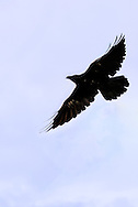 Common raven, (Corvus corax)