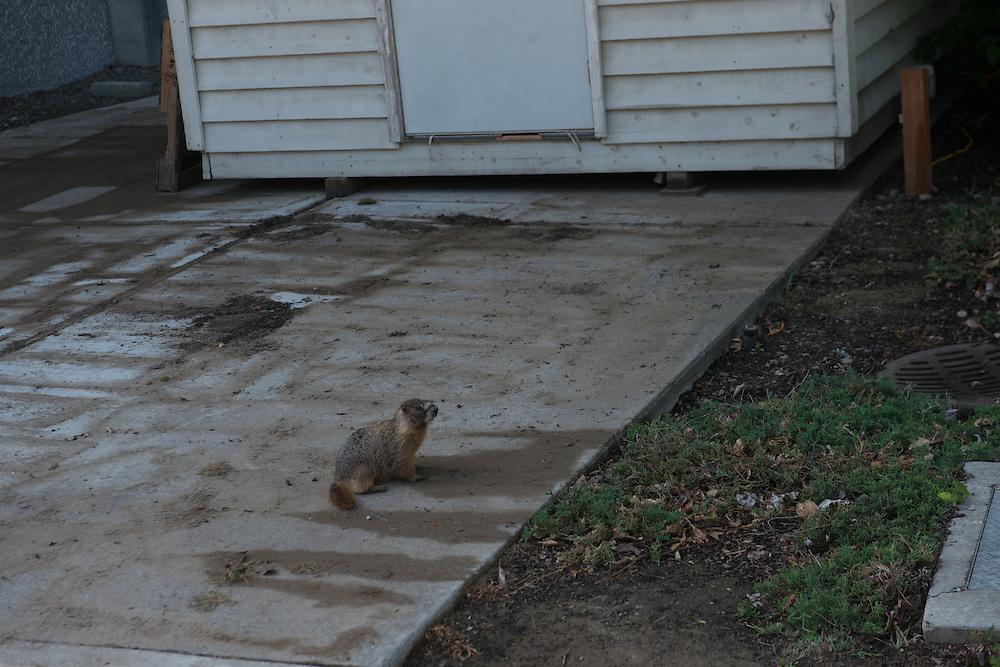 Marmot research. (Photo by Gonzaga University)