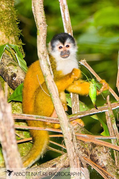 Black-crowned Central American Squirrel Monkey (Saimiri oerstedii oerstedii) eating katydid (Tettigoniidae)<br /> COSTA RICA: <br /> Osa Peninsula; Corcovado National Park; Sirena Biological Station<br /> 21.June-13-July.2006<br /> J.C. Abbott #2289