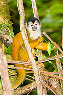 Black-crowned Central American Squirrel Monkey (Saimiri oerstedii oerstedii) eating katydid (Tettigoniidae)<br /> COSTA RICA: <br /> Osa Peninsula; Corcovado National Park; Sirena Biological Station<br /> 21.June-13-July.2006<br /> J.C. Abbott #2289