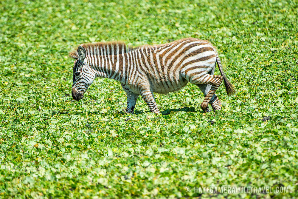 A young zebra wades in a small reed-covered lake at Tarangire National Park in northern Tanzania not far from Ngorongoro Crater and the Serengeti.