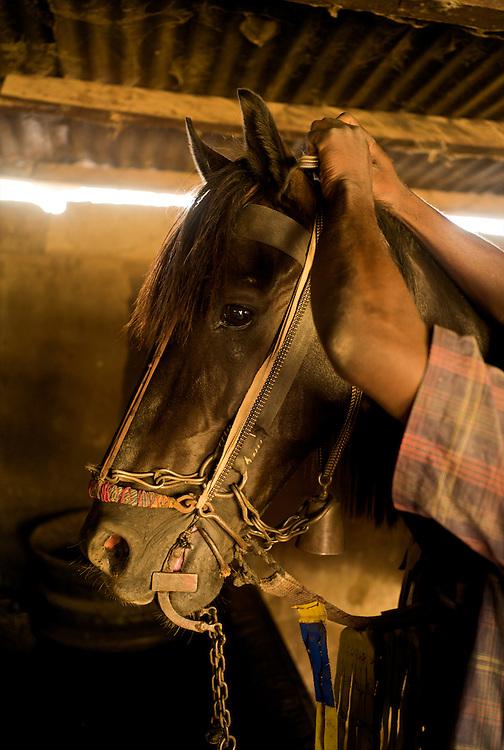 Preparing the horse.<br />  <br /> Preparation du cheval.