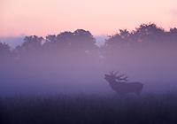 Red Deer (Cervus elaphus), Klampenborg Dyrehave, Denmark