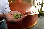 Ceske Budejovice/Czech Republic, CZE, 12.12.06: Employee of the brew house with hops in his hands. The brew house is aptly named. This is where the beer is produced. Or rather, this is where the foundations of the beer are laid, using high quality water, select Moravian malt and the finest Zatec hops ? a special strain harvested relatively early in the season from the unique red soils of Zatec. The mixing of these ingredients results in something called hopped wort. Wort is the name given to an infusion of malt before it is fermented into beer.