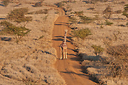 Giraffe standing in the middle of a dirt road.  Lewa Conservancy, Kenya.
