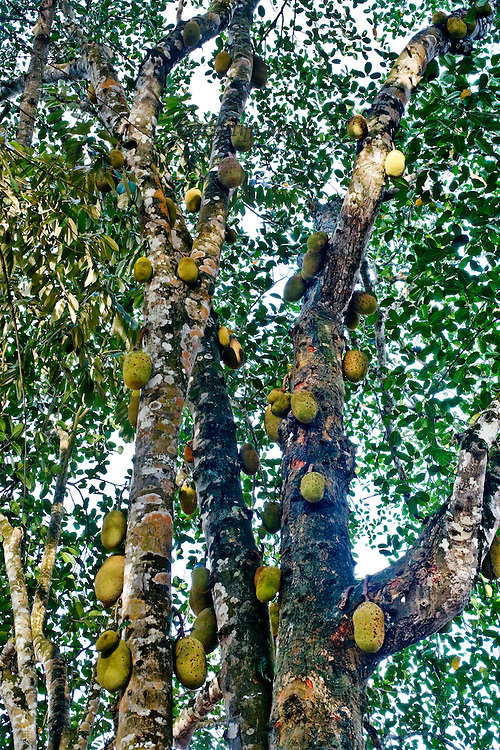 Jack fruit tree in Zanzibar bulging with fruits all along its trunk.