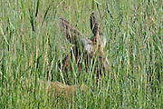 Doe, Female Deer, Deer doe, doe deer, Mule Deer, Deer, Salmon, Idaho