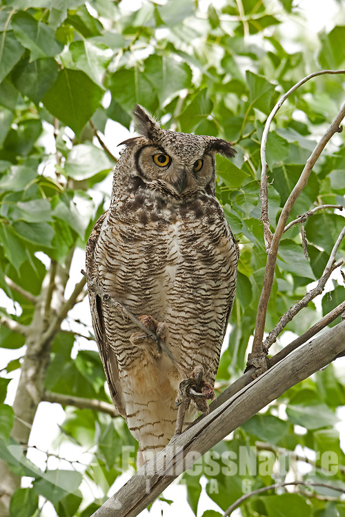 Adult Great Horned Owl perched in a cottonwood tree.