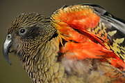 Kea (Nestor notabilis) Arthur's Pass, New Zealand | Kea oder Bergpapagei (Nestor notabilis) – Die leuchtend bunten Federn auf der Unterseite der Flügel von Keas dienen als Signalfarbe. Arthur's Pass, Neuseeländische Alpen, Neuseeland.