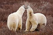 CANADA, Churchill (Hudson Bay).Polar bears (Ursus maritimus) growling