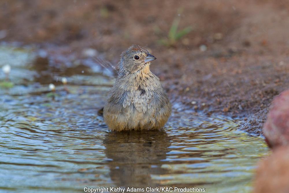 Canyon Towhee; Melozone fusca (previously Pipilo fuscus); Sonoran Desert; Southern Arizona; Summer