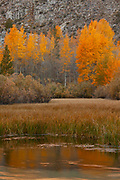 A cluster of aspen trees display their golden fall colors in the Sabrina Basin near Bishop, California. The fall color is reflected on the water of Bishop Creek.