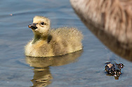 Middletown, New York - A Canada goose  gosling paddles in the lake  at Fancher-Davidge Park on May 10, 2015.
