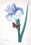 19th-century hand painted Engraving illustration of a Spanish iris (Iris xiphium) flower, by Pierre-Joseph Redoute. Published in Choix Des Plus Belles Fleurs, Paris (1827). by Redouté, Pierre Joseph, 1759-1840.; Chapuis, Jean Baptiste.; Ernest Panckoucke.; Langois, Dr.; Bessin, R.; Victor, fl. ca. 1820-1850.