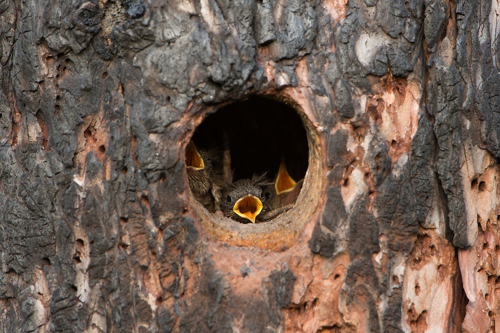 House wren chicks wait, impatiently, for a parent to return with food, Lolo National Forest, Montana