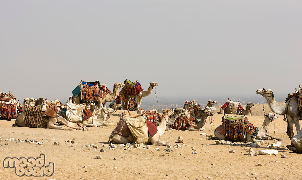 Camels resting at site of Pyramids