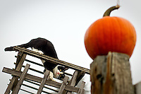 Rosie, one of the many animals that wander through the grounds of Prairie Home Farm, investigates a pumpkin on a fence post while crawling on a trellis Thursday.
