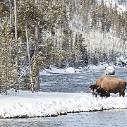 A lone bison searches for tender grass shoots on a snow bank at ta bend in the Firehole River