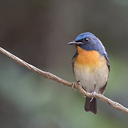 Tickell's blue flycatcher (Cyornis tickelliae) is a small passerine bird in the flycatcher family. This is an insectivorous species which breeds in tropical Asia
