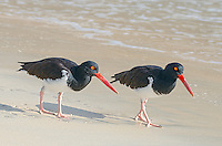 American Oystercatchers, Haematopus palliatus galapagensis at Punta Cormorant on Floreana Island on the Galapagos Islands, Ecuador.