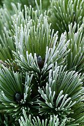 Hoar frost on the needles of Pinus nigra 'Bright Eyes'