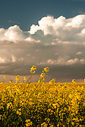 Canola field and prairie thunderstorm.