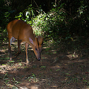 Male Red (or common) Muntjac Deer, Muntiacus muntjac, also known as a barking deer in Kaeng krachan National Park, Thailand.