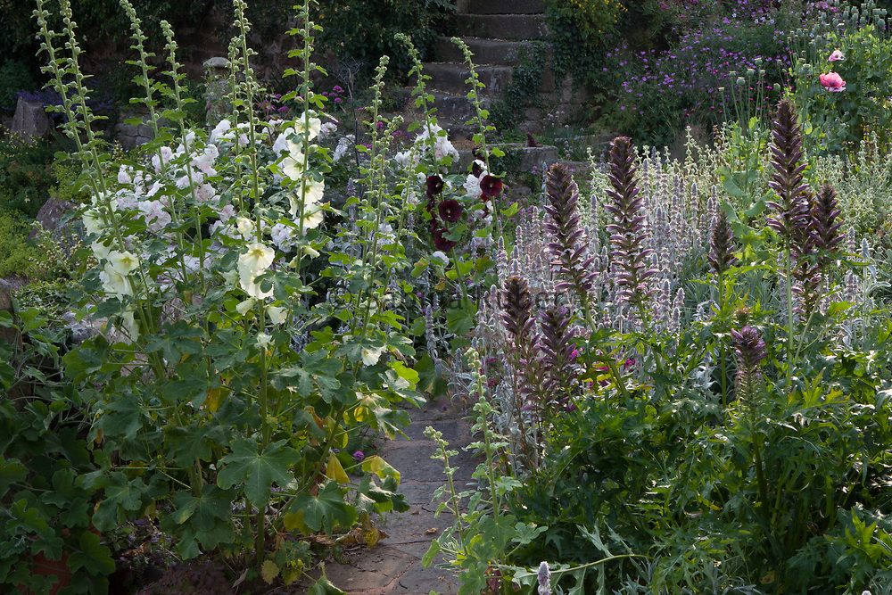 Garden borders with Alcea rosea - hollyhock and Acanthus mollis - bear's breeches