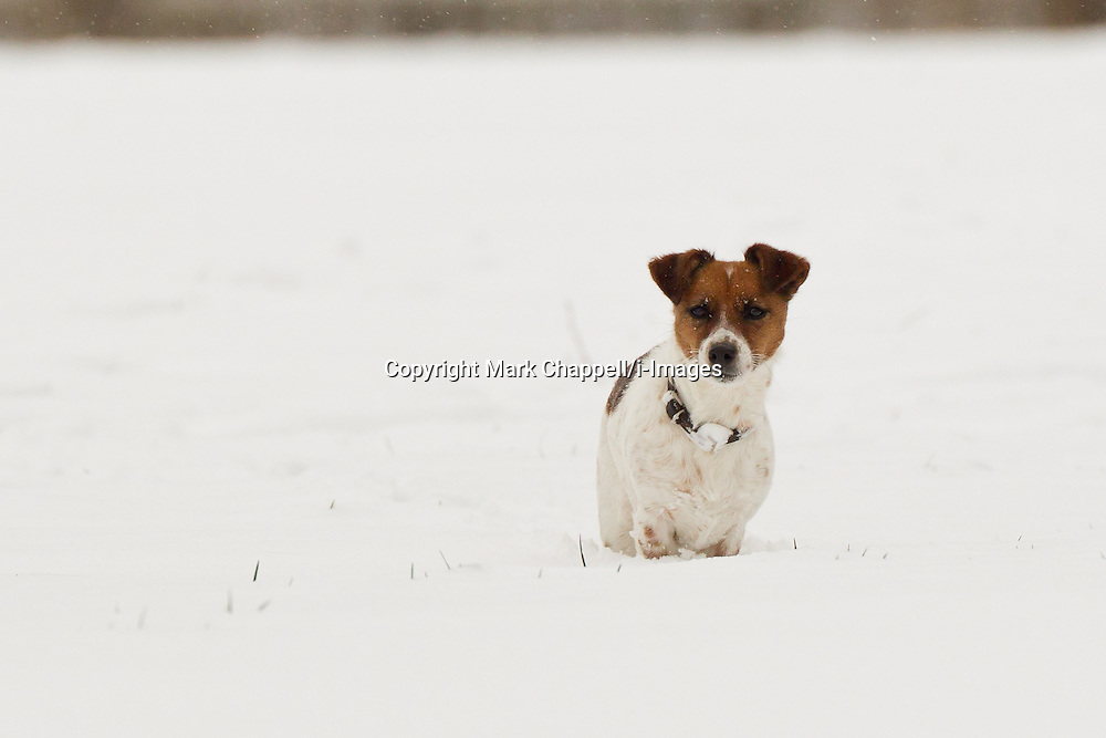 A Jack Russell plays in Corsham Park following heavy overnight snow in north Wiltshire. January 18 2013.  Corsham, UK..Photo by: Mark Chappell/i-Images