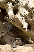 Pair of Meerkats, Suricata suricatta, under tree trunk at Jersey Zoo - Durrell Wildlife Conservation Trust, Channel Isles