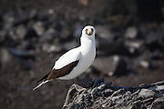 ANazca boobie (Sula granti) sea bird on Espanola Island, Galapagos Archipelago, Ecuador.