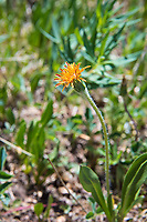 Also known as the orange mountain dandelion, this native relative to the (non-native) common dandelion is found across most of Western Canada and the United States in mountain valleys and subalpine altitudes. The leaves are edible and can be used for fermented beverages! This one was found and photographed in the mountains above Aspen, Colorado in Pitkin County on a hot summer day.