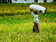 28 JULY 2017 - JATILUWIH, BALI, INDONESIA: A woman carries a bag of freshly cut rice out of a field near Jatiluwih, in central Bali. Rice is the most important crop grown on Bali and is important as a food source and a symbol of Balinese culture.     PHOTO BY JACK KURTZ