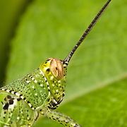 Face of a brightly marked Acrididae grasshopper.