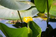 Teich, Blüte, Eulbacher Park, Michelstadt, Odenwald, Naturpark Bergstraße-Odenwald, Hessen, Deutschland | pond, flower, Eulbach Park, Michelstadt, Odenwald, Hesse, Germany
