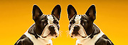 Portrait of symmetrical French Bulldogs over yellow background