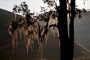 Domingos Martins_ES, Brasil...Detalhe de uma arvore na estrada historica denominada Rota Imperial da Estrada Real, antiga estrada Dom Pedro de Alcantra...A tree detail in the Ancient Rota Imperial, know as Dom Pedro de Alcantara Road...Foto: LEO DRUMOND / NITRO