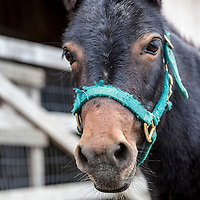 Virgil at the Primrose Donkey Sanctuary, Roseneath, Ontario