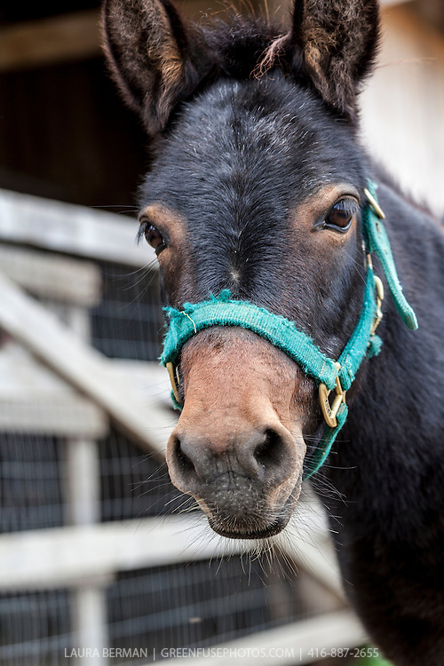 Virgil at the Primrose Donkey Sanctuary, Roseneath, Ontario