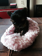 "Pocket-sized pooch Belle could be the smallest in Britain<br /> <br /> IS this pocket-sized pooch the smallest dog in Britain?<br /> Micro-dog Belle was two inches tall at six weeks old and weighed just 158g - the same as a bag of Haribo sweets.<br /> <br /> The miniature Yorkshire terrier was EIGHT times smaller than she should have been.<br /> But her devoted owner Karenza Cruse cared for her like a newborn baby - and sometimes fed her every hour, day and night.<br /> <br /> The cute puppy - named after tiny Tinker Bell the fairy - was the sole survivor of a litter of four.<br /> <br /> Belle, now seven weeks old, was rejected by her mum Darcy and needed to be resuscitated after she was delivered.<br /> <br /> Mum-of-two Karenza diligently nursed her back to health and the puppy has now doubled in size.<br /> <br /> The 34-year-old from Great Yarmouth, Norfolk, said: ""I take her everywhere with me.<br /> <br /> ""But once people see what is in my handbag they can't get enough of her.<br /> ""She is quite a celebrity round here and even in the local pub.<br /> <br /> ""She amazes me. I still just smile at her even if it is 2am or 4am. She reminds me of a little clockwork toy. Everyone just assumes she is a newborn.""<br /> <br /> Friend Sarah Bramhall, 31, who has helped Karenza rear the puppy, said: ""For all the work she has put in she deserves some recognition and Belle is such a superstar.""<br /> ©Exclusivepix"