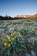 Mules ears (Wyethia mollis) in sagebrush meadow below Parker Peak in the Eastern Sierra Nevada, Inyo National Forest, California