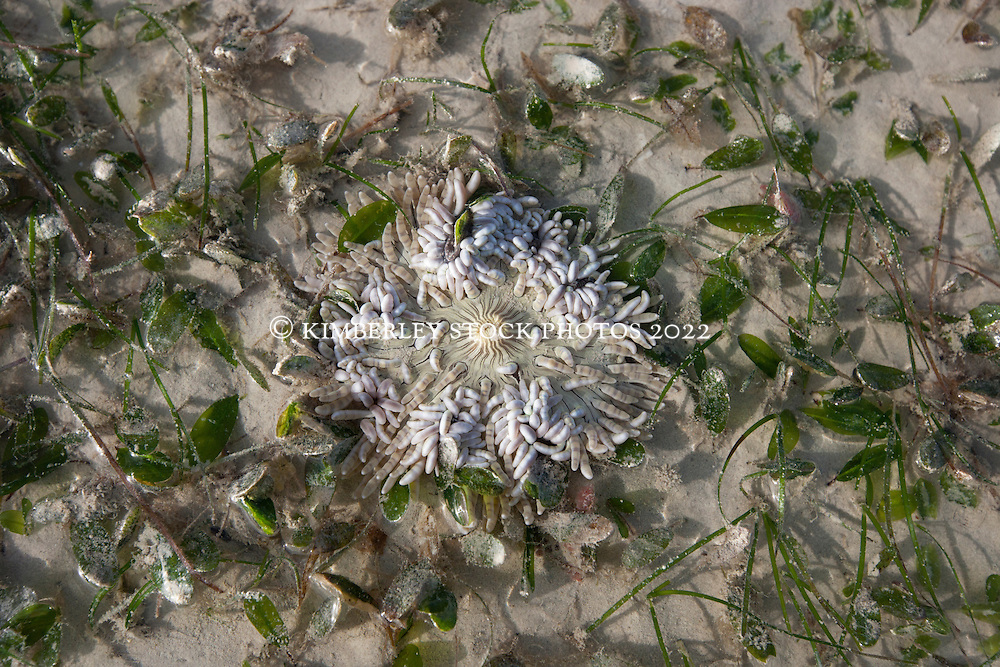 An anemone amongst the seagrass at Town Beach on low tide.