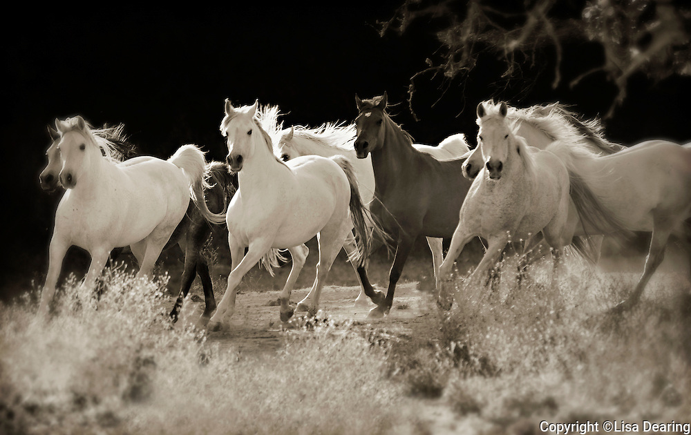 Herd of Arabian Horses Running