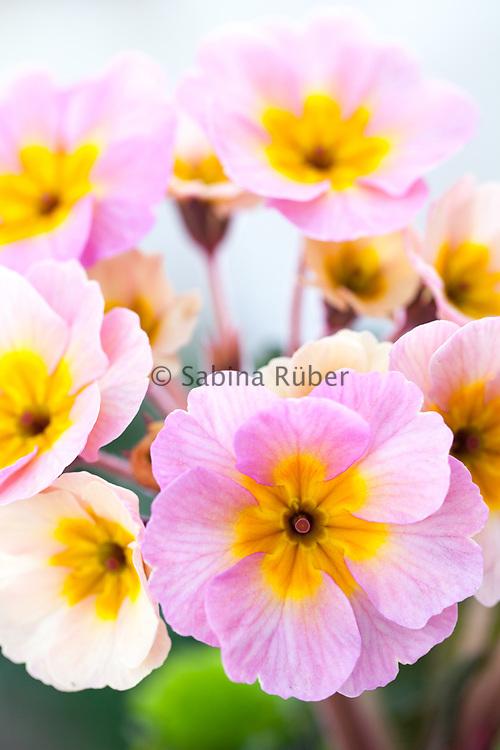 Primula 'Sweetheart'