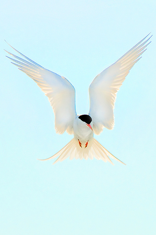 The Arctic Tern travels 9-10,000 miles on its journey to Alaska and back to Sth.Am. It is one of the most beautiful and graceful birds in the sky.
