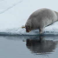 Eight image action sequence of a bearded seal diving into the Arctic Ocean from the pack ice north of the Svalbard Islands.